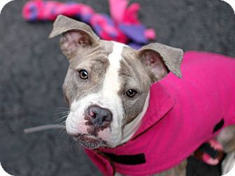 Ridgewood, NY - American Pit Bull Terrier Mix. Meet Zaho a Dog for Adoption.