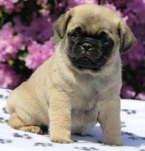 Cute Pug Puppy Cute Pug Puppies Pug Puppies Cute Pugs