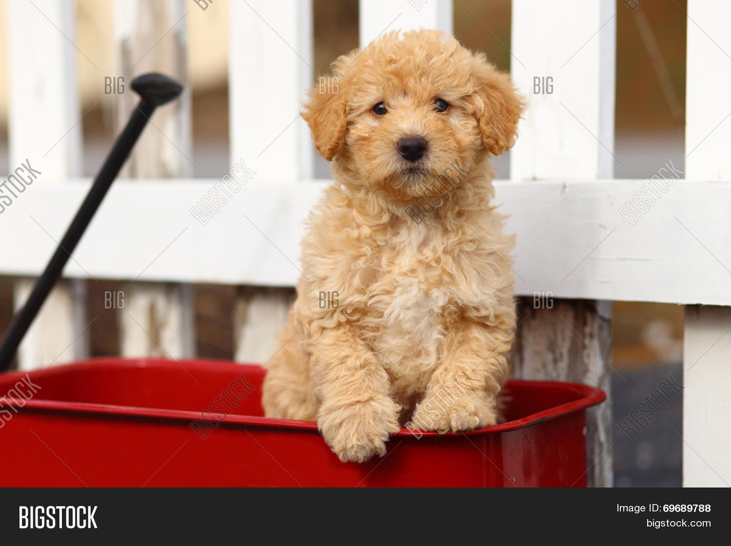 An Adorable Labradoodle Puppy Sits In A Bright Red Wagon In Front Of A White Wooden Fence Labradoodle Puppies For Sale Labradoodle Puppy Mini Labradoodle Puppy