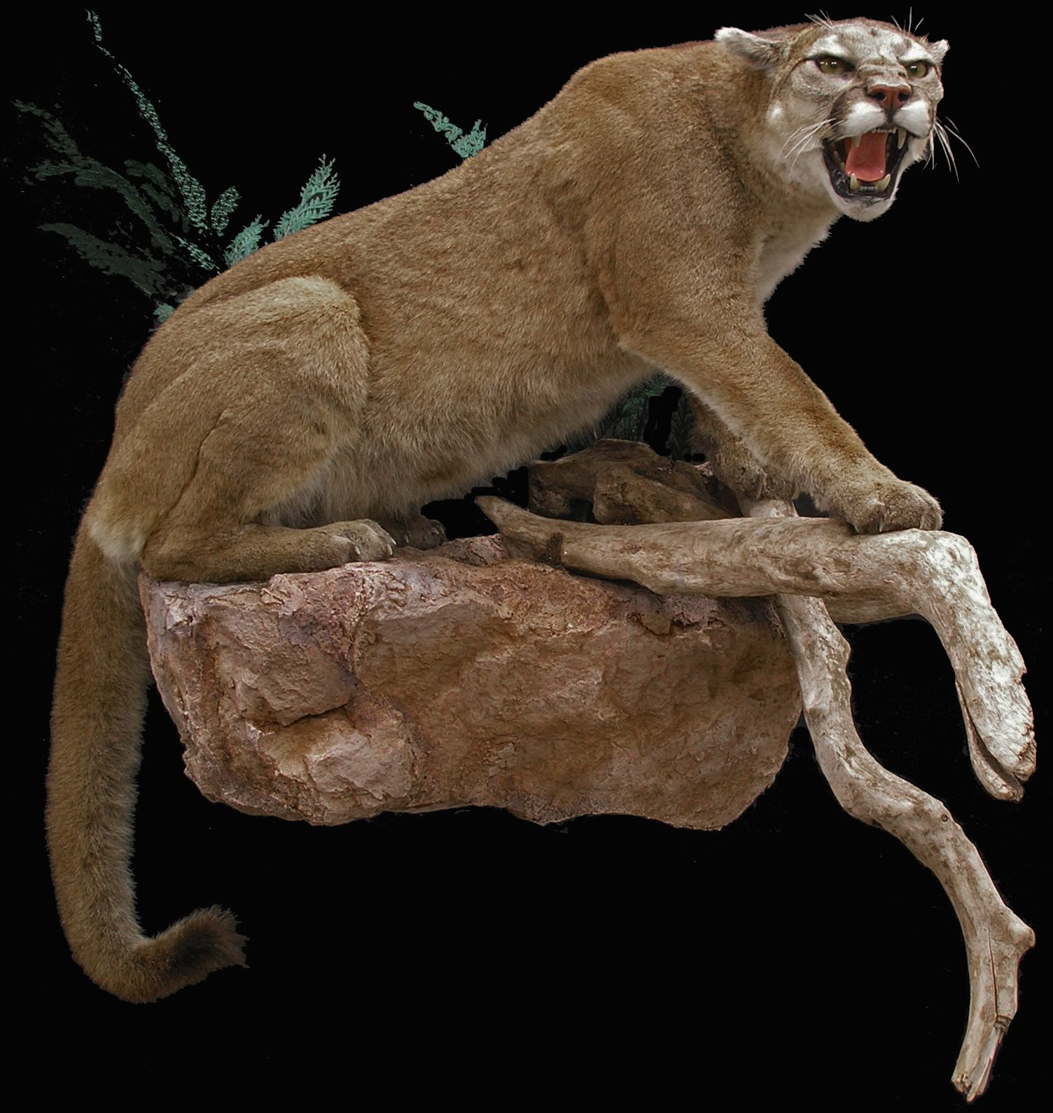 mountain lion taxidermy mount - Google Search | Hunting | Pinterest ...