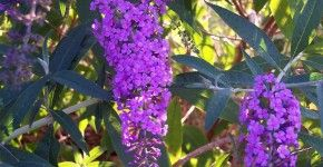 Budget Garden? Grow Butterfly Bush! Here's Why (and How!)