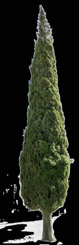 Cupressus Sempervirens Tree Ii Cupressus Sempervirens Tree Plan Png Tree Plan