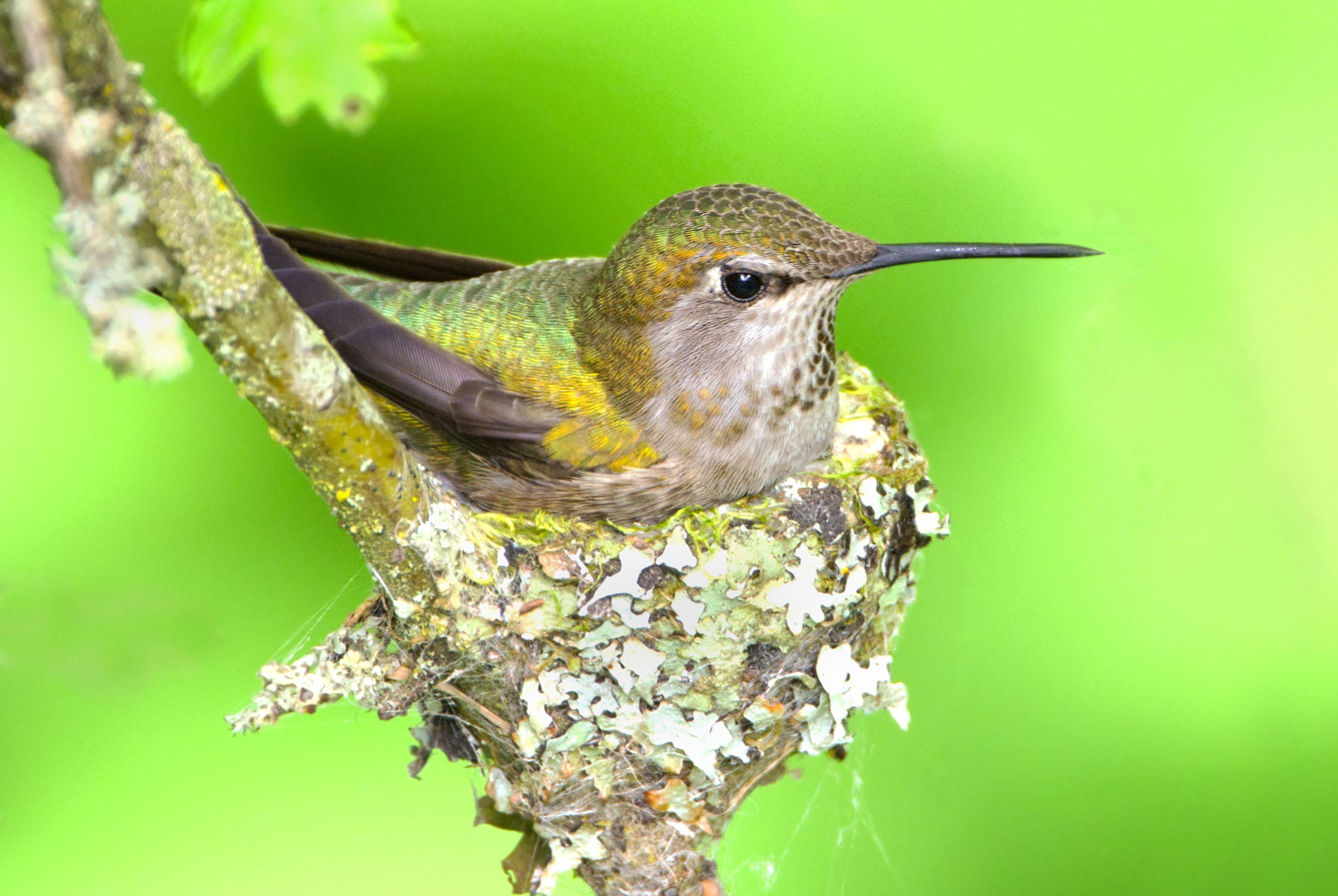 Fascinating Hummingbird Facts Hummingbird, Annas