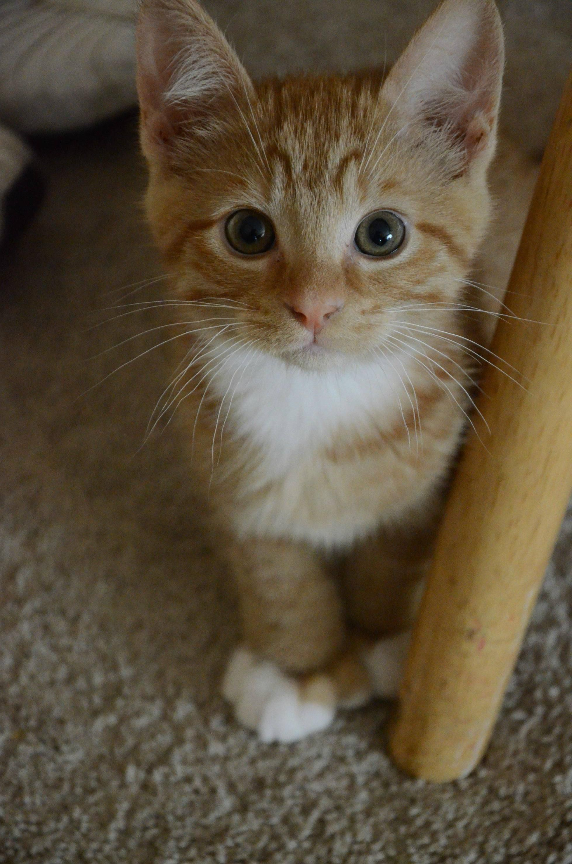 An Ordinary Kitten Will Ask More Questions Than Any Five Year Old Call Van Vechten Orangekittens Cute Cats Kittens Cutest Cats