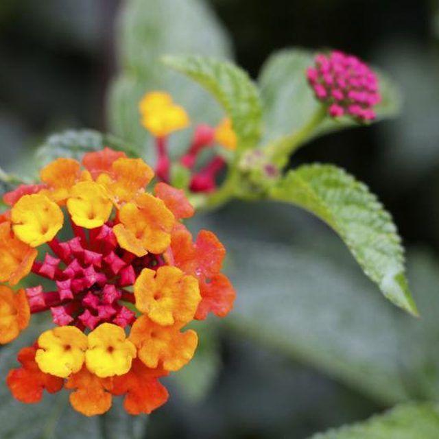 How To Get My Lantana To Bloom With Images Lantana Lantana Plant Plants