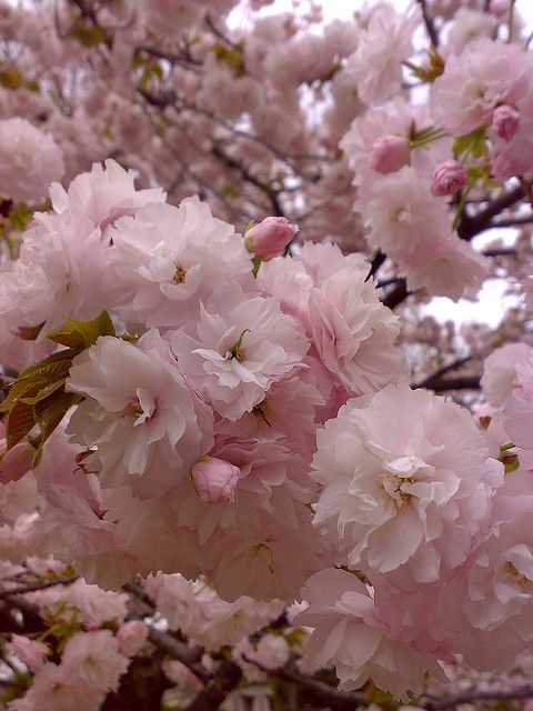 Pink Flowers Double Cherry Blossoms Cherry Blooms Beautiful Flowers Blossom