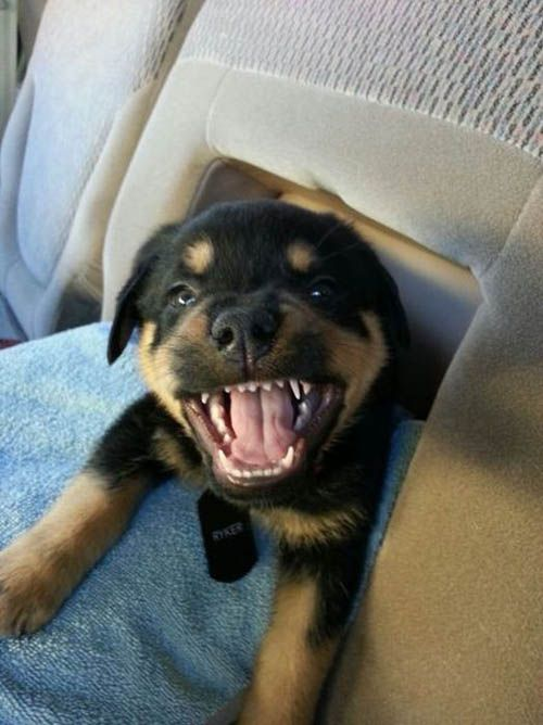 Angry Puppy The Daily Giggle 26 Photos Secret Giggle Dogs