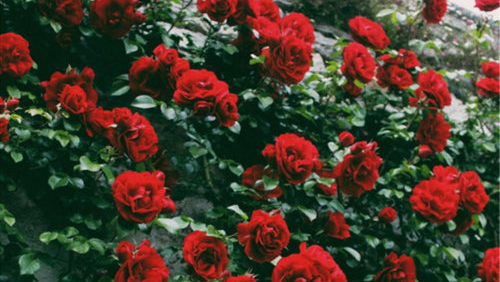 love red rose tumblr flowers pinterest red aesthetic red