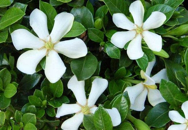 Exceptionally Cold Hardy Gardenia Jasminoides Pinwheel Cape