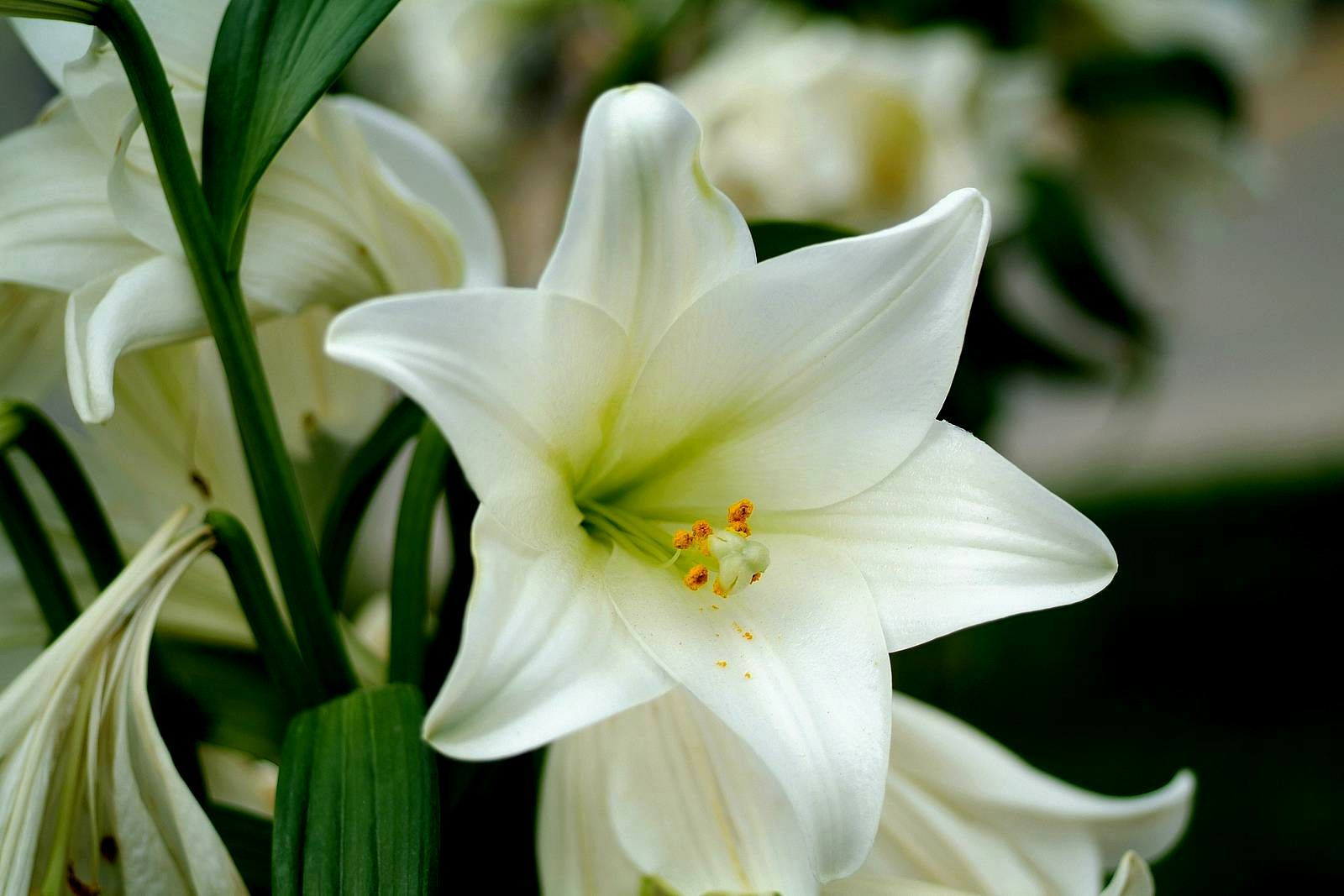 White lily flowers pictures click visit link for detail white lily flowers pictures click visit link for detail izmirmasajfo