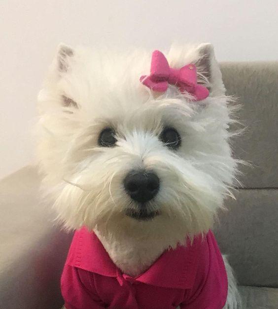 Beautiful And Cute York Terrier Dog: Westie Puppies, Westies