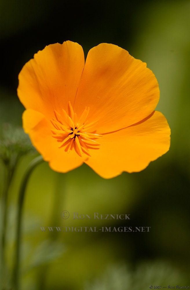 california poppy - Google Search