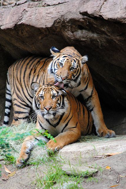 """Can You Feel the Love Tonight?""- Brother tigers help each other get clean at the San Diego Zoo."