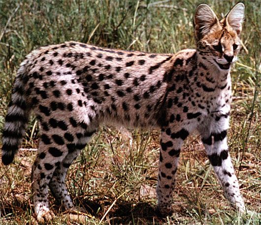 Serval Long Legged Little Head African Cat African Cats Cat Animal Pictures Wild Cats