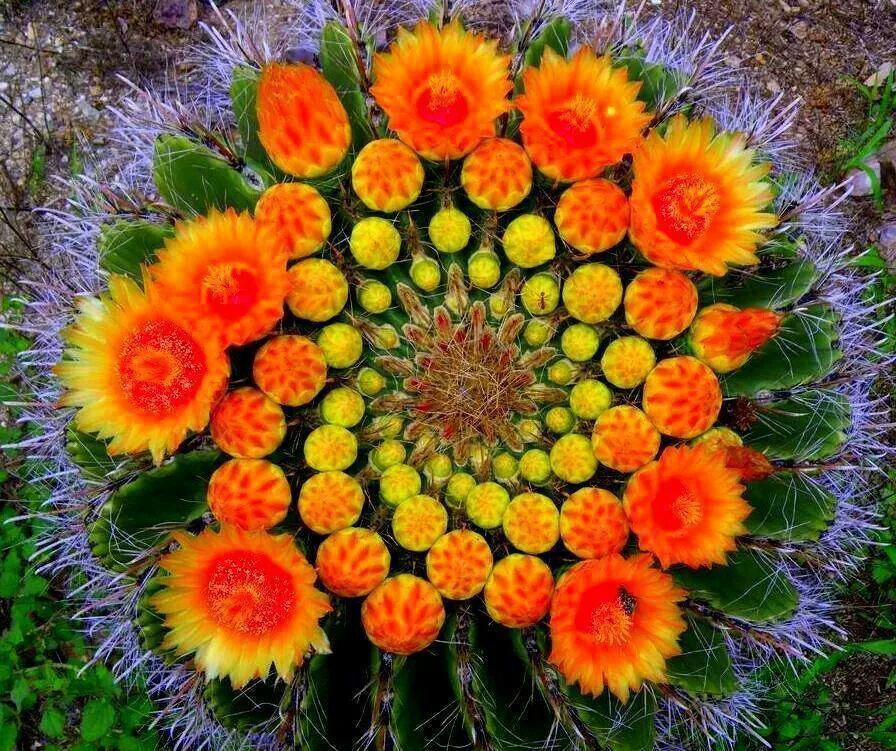Pianta Fiori Arancioni.Cactus Con Fiori Arancioni Giardino Di Piante Grasse Piante