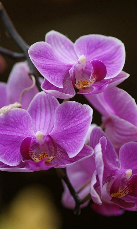 Pin By Jose Oliveira On ORCHIDS