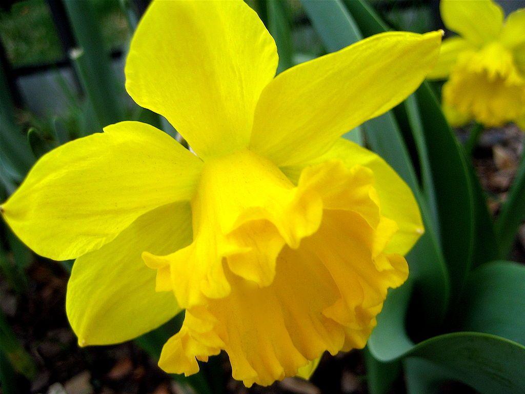 Daffodills (Narcissus) 25.jpg National flower of wales
