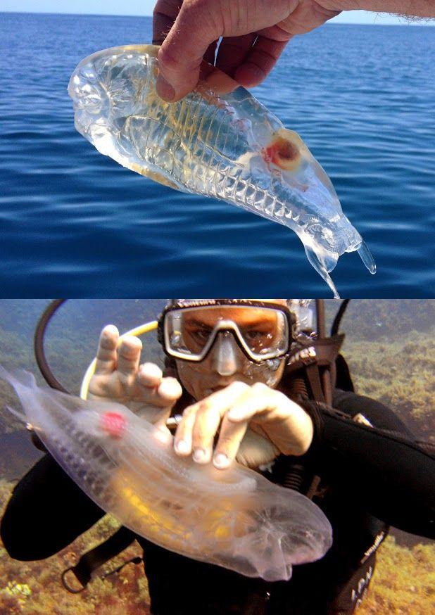Salpa Maggiore: transparent salp fish. Google+