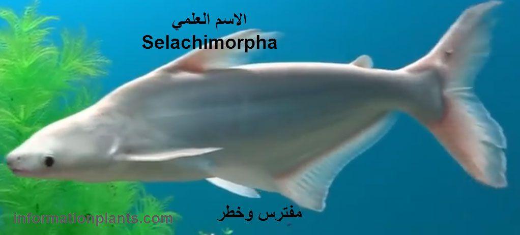 انواع سمك القرش Shark قوائم الاسماك قوائم انواع الاسماك معلومان عامه معلوماتية نبات حيوان اسماك فوائد Fish Pet Pets Animals