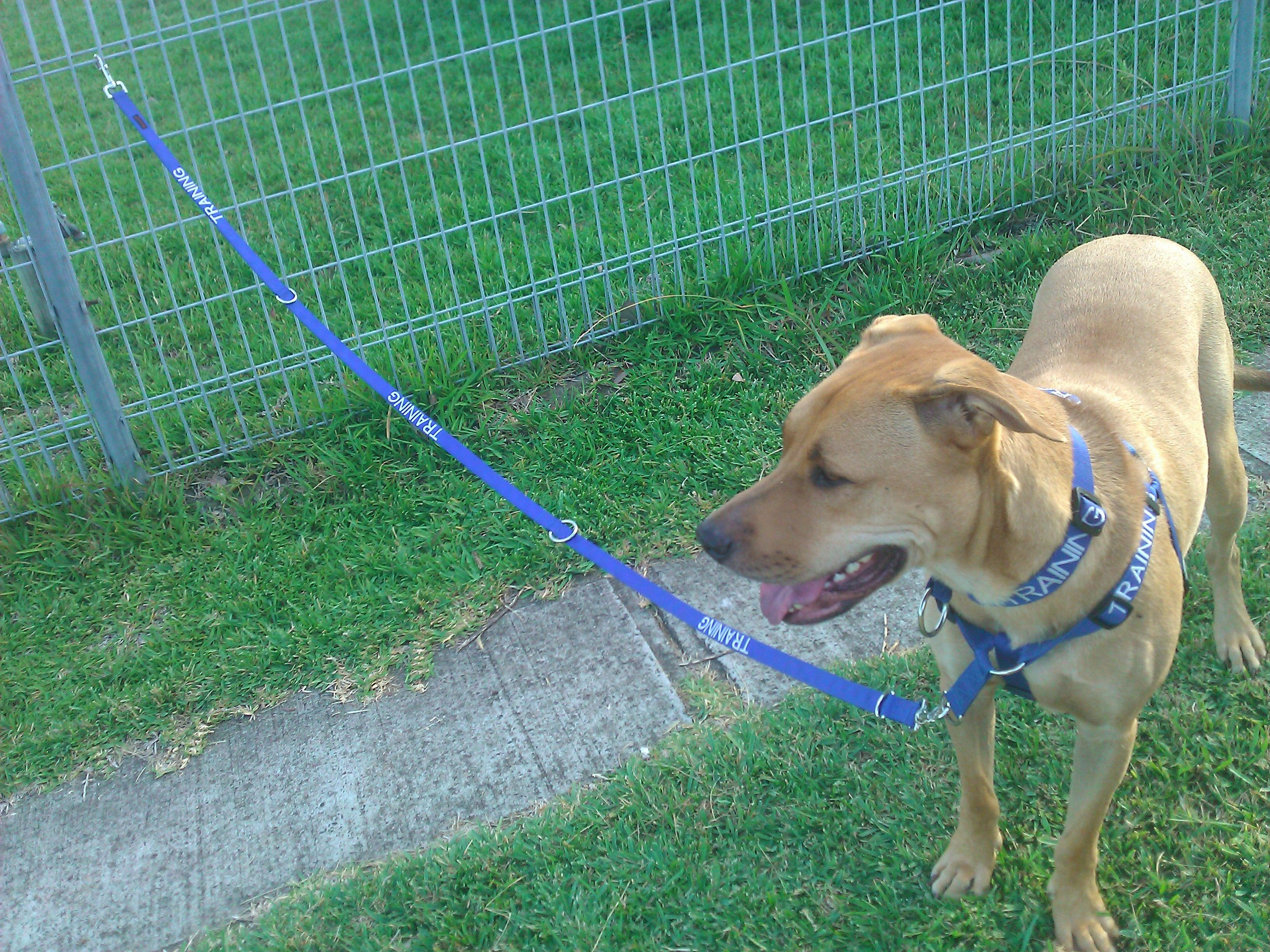 Aytan Modelling A Training Collar Harness And Lead From Friendly Wire Dog Collars This Photo