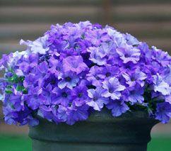 Petunia Surfinia Heavenly Blue Blue Garden Petunias Garden Theme