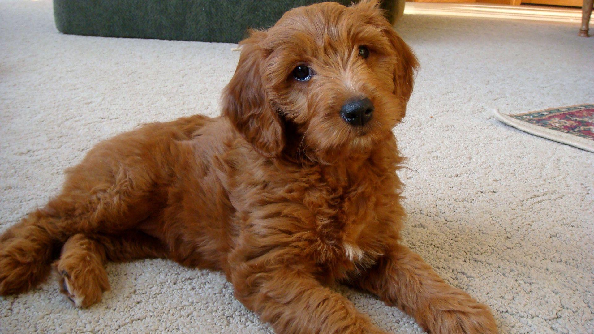 Goldendoodle Doodle Dog Breeds Golden Doodle Dog Golden Retriever Poodle Mix