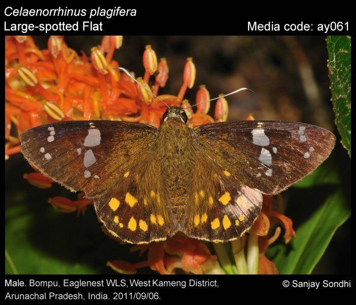 Celaenorrhinus Plagifera - Large-spotted Flat