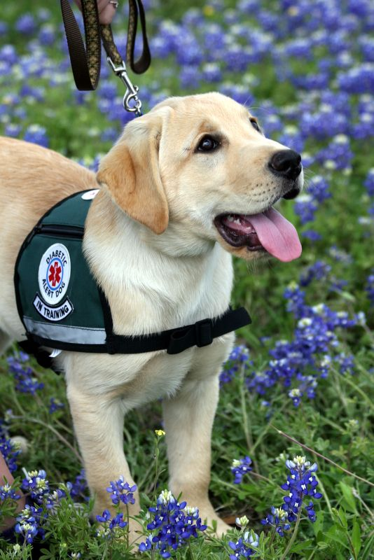 Diabetic Alert Dog Want One For Our Little Type 1 Sweetie