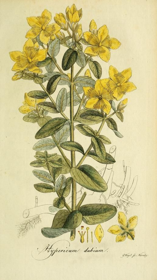Heaveninawildflower Hypericum Dubium Imperforate St John S Wort Botanical Illustration Art Clipart Illustration