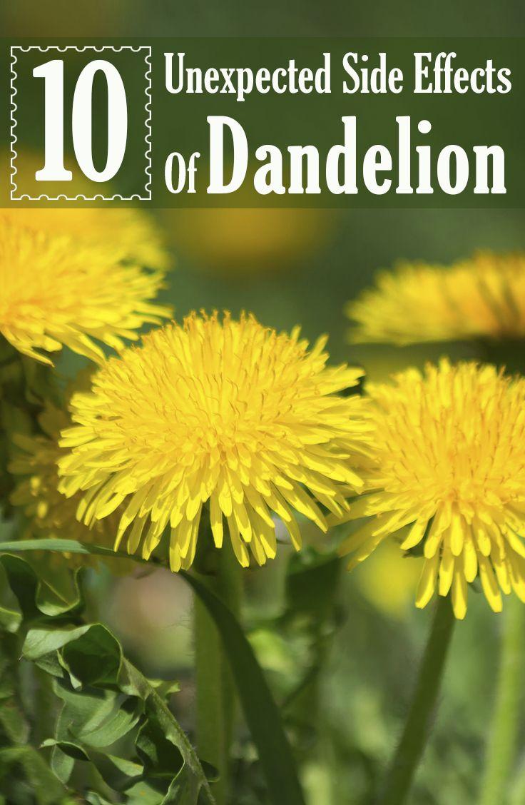 Dandelions Potential Benefits Dosage And Side Effects Dandelion Health Benefits Dandelion Side Effects