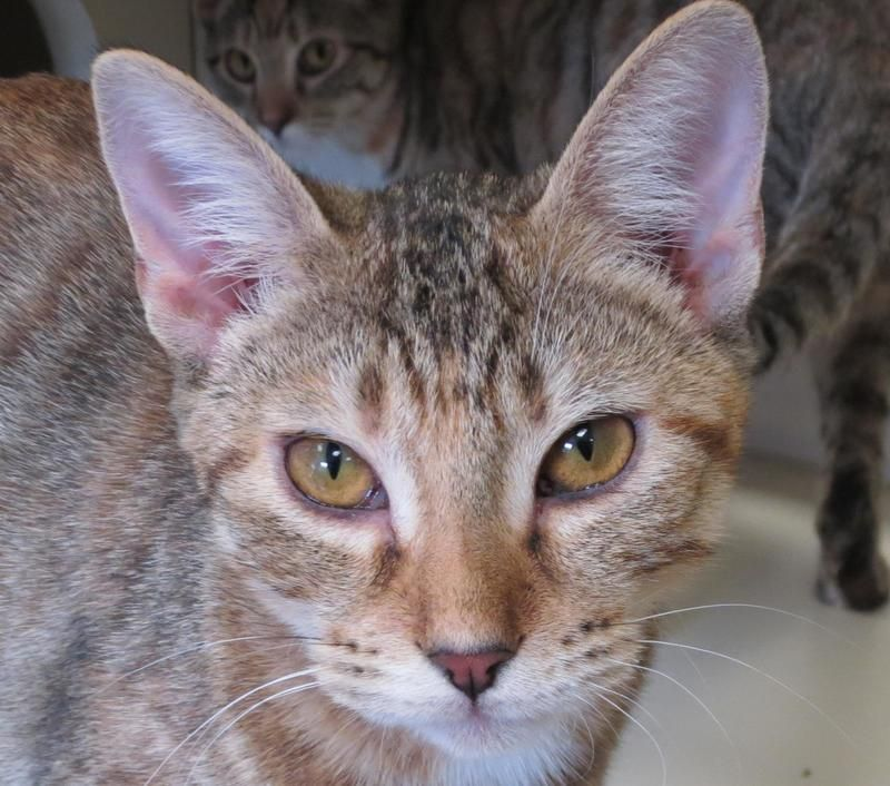 Adopt Lanie On Petfinder Cats And Kittens Animals Animal Shelter