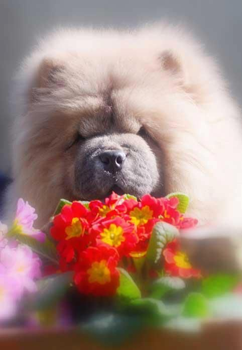 Chow Chow Dog Art Portraits Photographs Information And Just