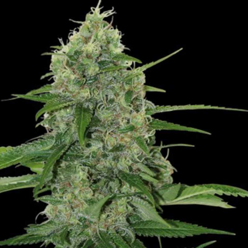Семена конопли купить низкорослая документальный фильм о марихуаны