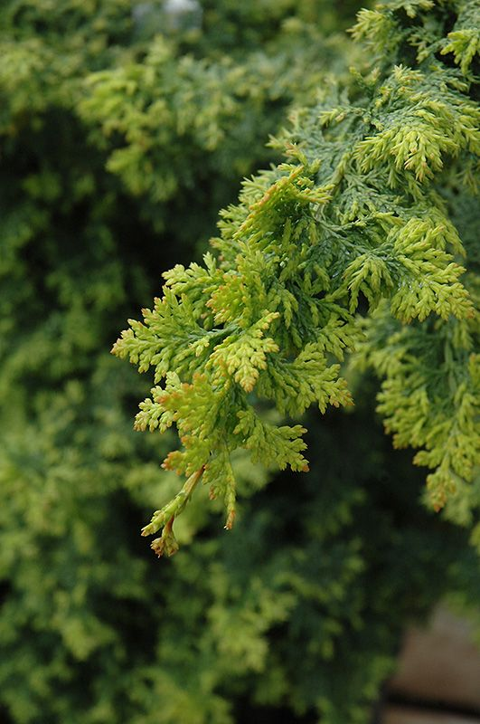 Gold Fern Hinoki Falsecypress Chamaecyparis Obtusa At Squak Mountain Nursery