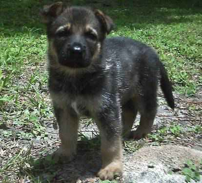 German Shepherd Dog For Sale In Brooksville Fl German Shepherd