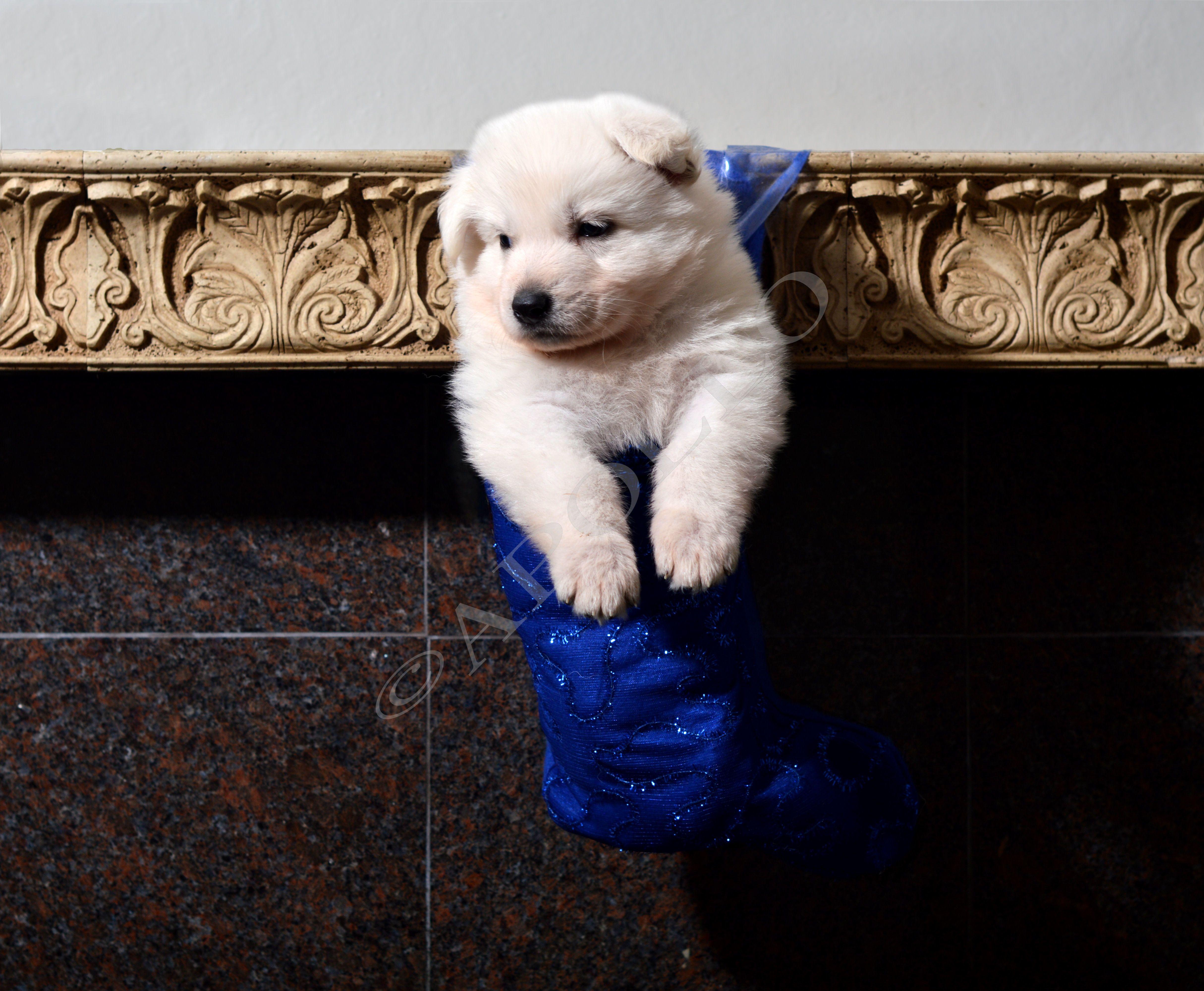 Sheprador Puppies For Sale Uk Ideas