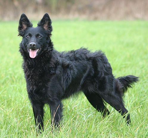 Black Metzner Dog Breed