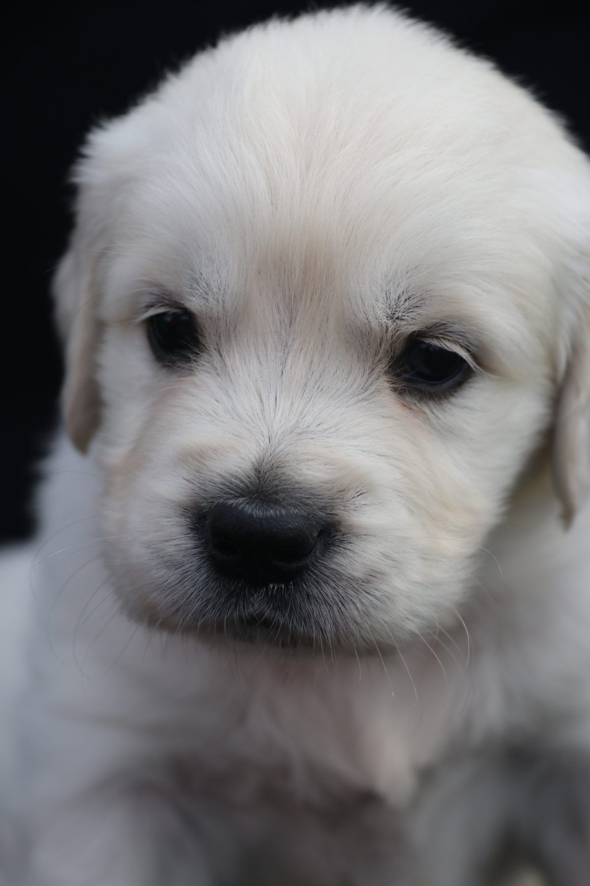 Penelope Female Akc Golden Retriever Puppy For Sale In North