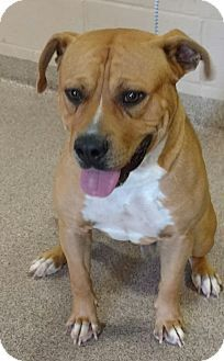 Troy, OH - Pit Bull Terrier Mix. Meet Beef a Dog for Adoption.