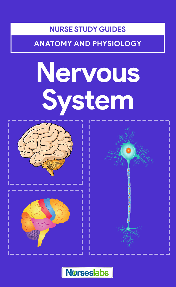 Nervous System Anatomy and Physiology | Nervous system, Teas test ...
