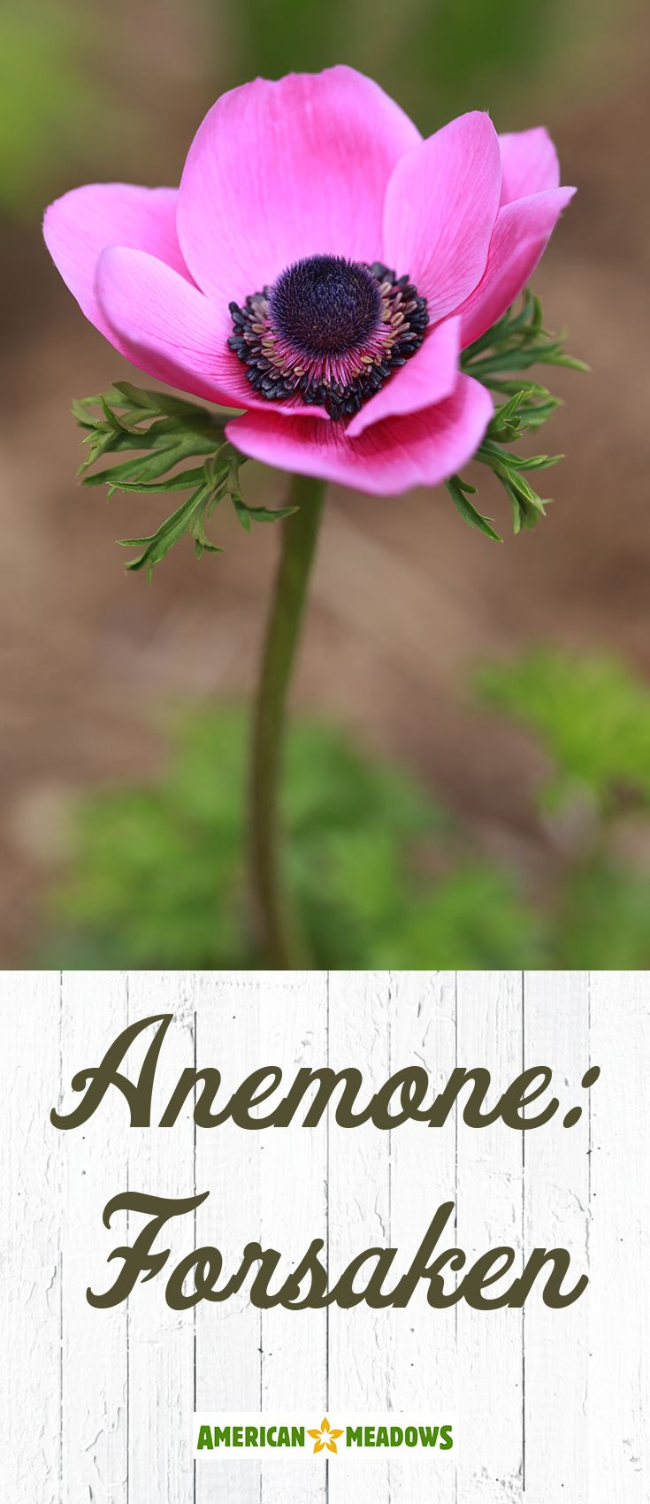 Anemone Windflower American Meadows Anemone Flower Meanings Anemone Flower