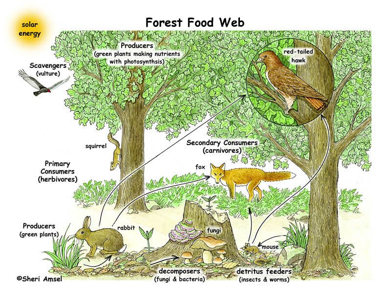 Forest Ecosystem Food Web To Make Black And White Copies