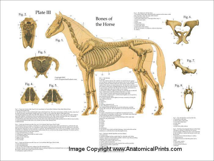 Horse Skeletal Anatomy Poster 18 X 24 Animal Pinterest