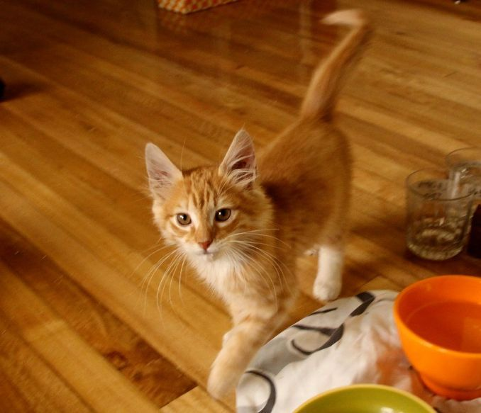 Orange Kittens For Sale Cute Cats Pictures