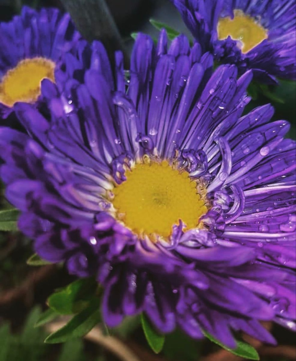 Aster Flower In 2020 Aster Flower Flowers For Sale Wholesale Flowers