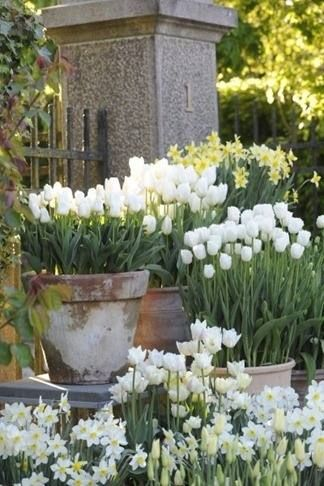 Clusters of potted tulips.