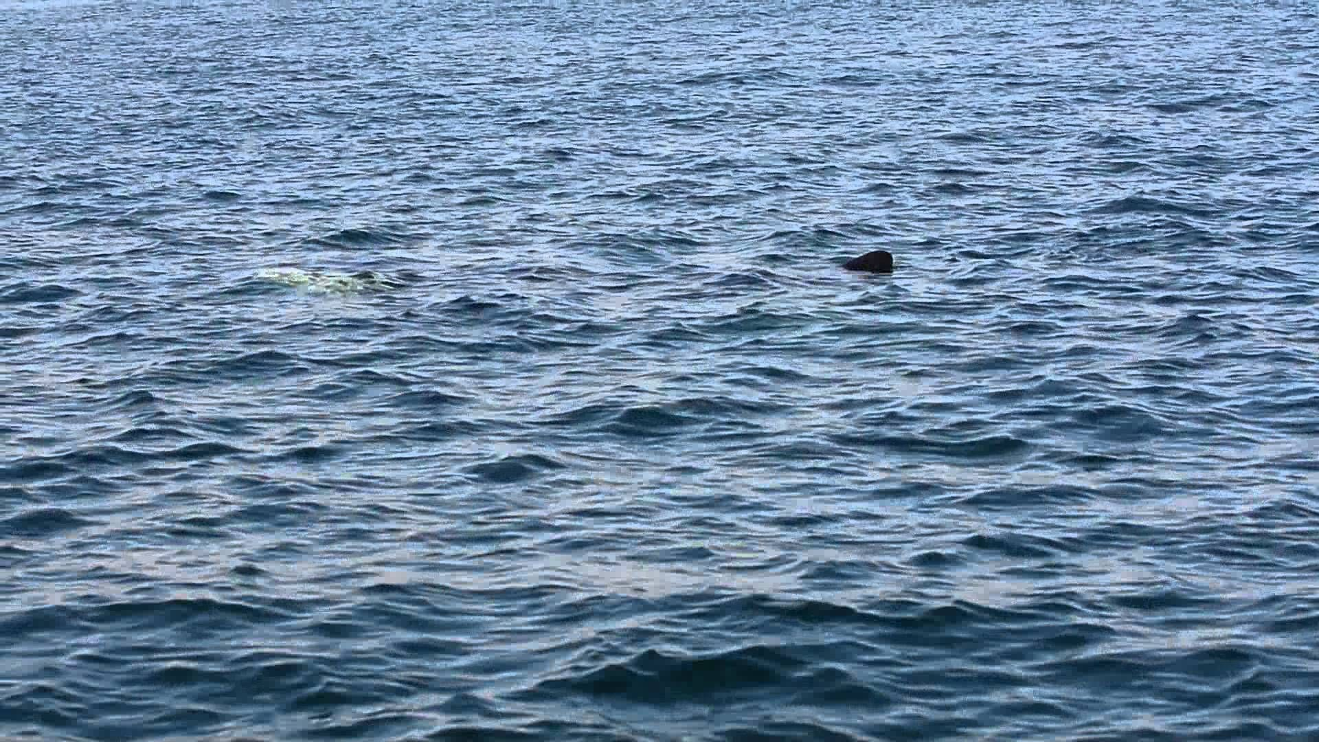 Bay of Fundy Killer Whale