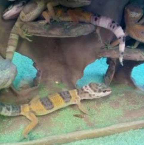 petco leopard geckos geckos pinterest animals and pets