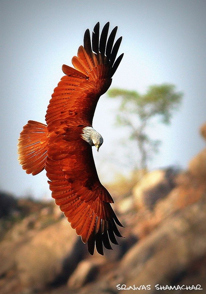 BRAHMINY KITES....has many names....aka the red or rufous backed sea-eagle, white-headed fish eagle, chestnut-white eagle-kite, the Elang Bondol.......live in Australia, the Indian subcontinent, & Southeast Asia on the coasts and in inland wetlands... the official mascot of Jakarta