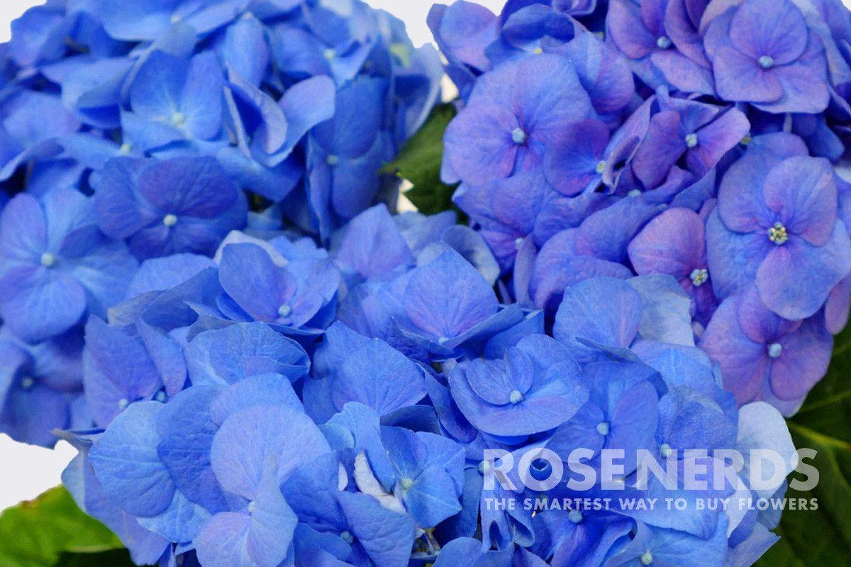 Wholesale Shocking Blue Hydrangea 30 Stems Or More Blue Hydrangea Shocking Blue Hydrangea